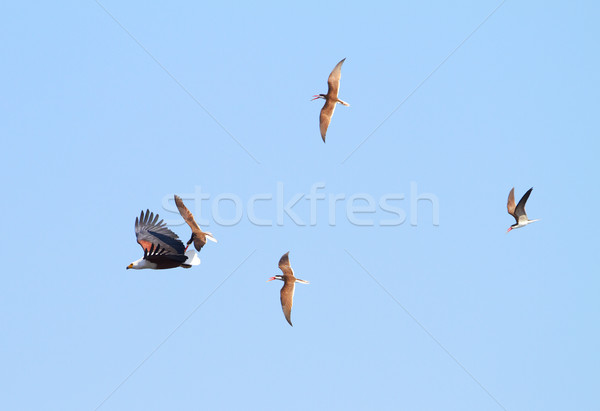 Flying Fish Eagle Stock photo © Forgiss