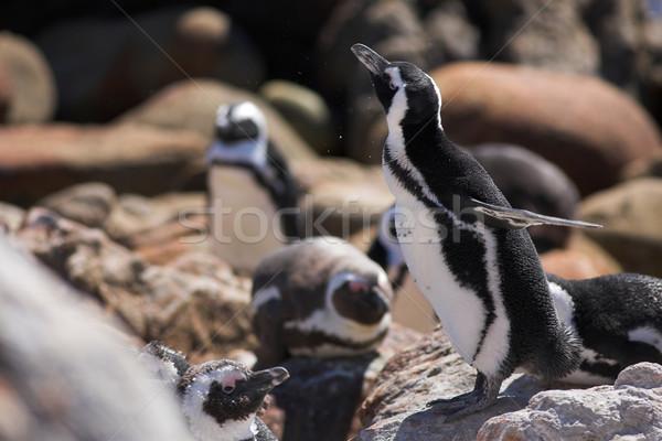 Jackass Penguin #14 Stock photo © Forgiss