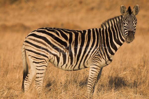 Zebra #7 Stock photo © Forgiss