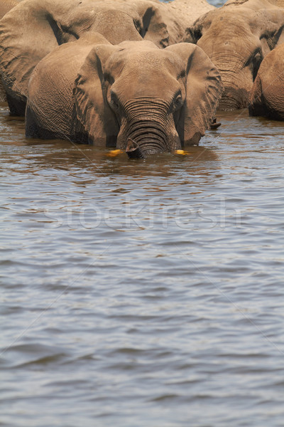 Stok fotoğraf: Afrika · filler · bankalar · nehir · Botsvana