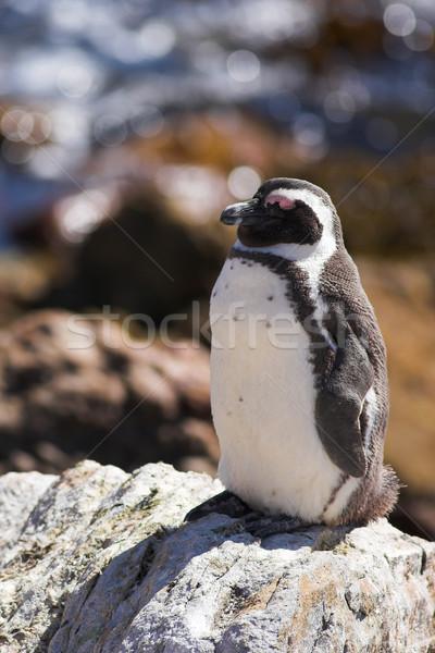 Jackass Penguin on the rocks Stock photo © Forgiss