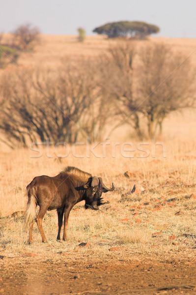 Wildebeest #2 Stock photo © Forgiss