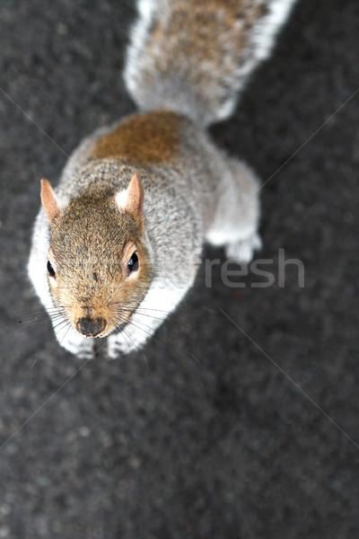 écureuil peu profond yeux domaine Photo stock © Forgiss