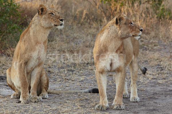 Jonge leeuw licht nacht Stockfoto © Forgiss