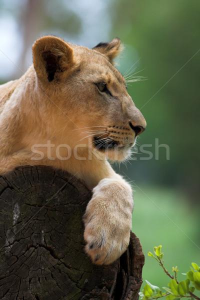 Beyaz aslan ağaç Güney Afrika doğa Stok fotoğraf © Forgiss