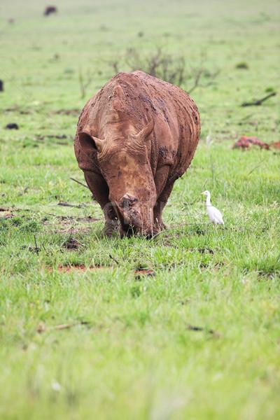 Mud encrusted rhinoceros eating green grass on a rainy day Stock photo © Forgiss