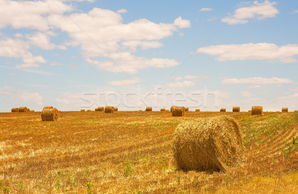 Harvested Wheat Field Stock photo © Forgiss