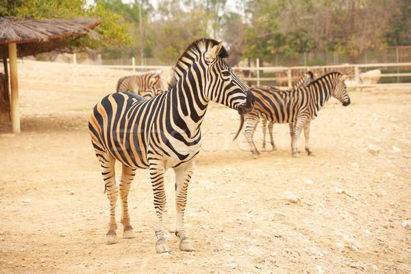 Zebralar hayvanat bahçesi zebra ayakta hayvanat bahçesi hayvanları Stok fotoğraf © forgiss