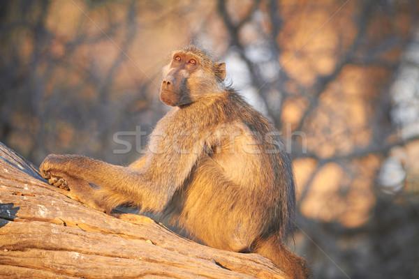 Chacma baboons Stock photo © Forgiss