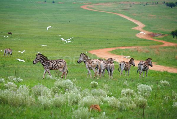 Jovem zebra primavera grama verde Foto stock © forgiss