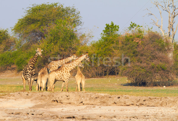 African Giraffes Stock photo © Forgiss