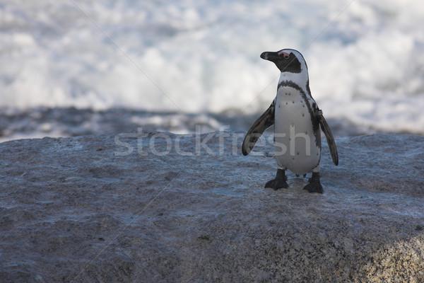 Jackass Penguin #34 Stock photo © Forgiss