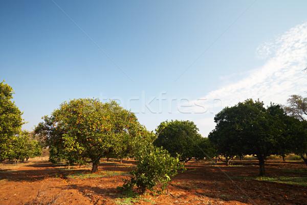 Oranje vruchten boomgaard oranje bomen vruchten zonnige Stockfoto © Forgiss