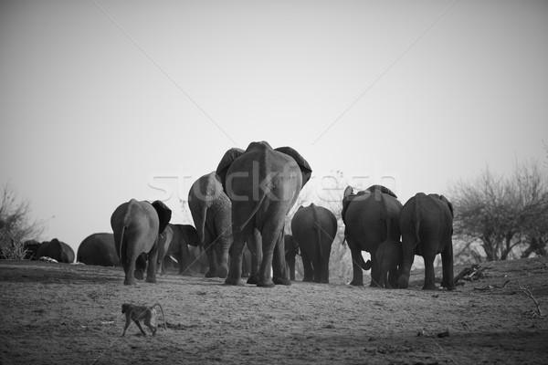 Foto stock: África · elefantes · bancos · río · Botswana