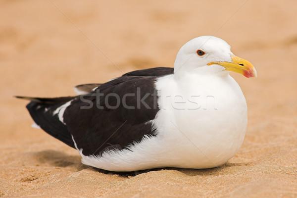 Seagull #13 Stock photo © Forgiss