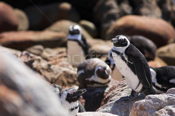 Jackass Penguin #15 Stock photo © Forgiss