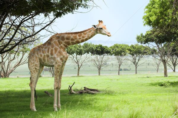 Giraffe in the veldt Stock photo © Forgiss