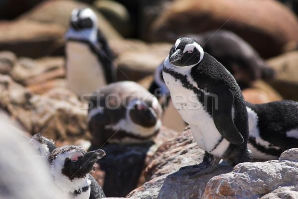 Jackass Penguin #16 Stock photo © Forgiss