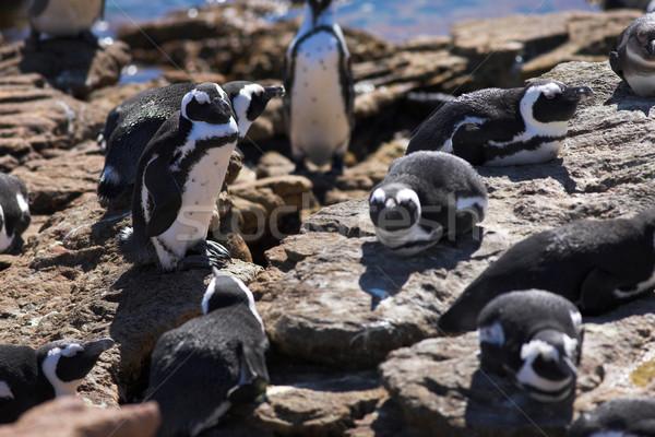 Jackass Penguin #8 Stock photo © Forgiss