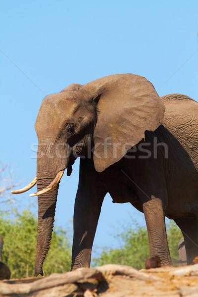 Afrikaanse olifanten kudde banken rivier Botswana Stockfoto © Forgiss