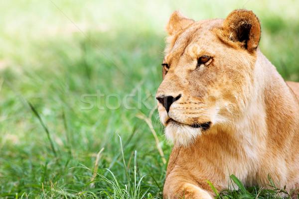 Genç çim Güney Afrika doğa kedi Stok fotoğraf © Forgiss