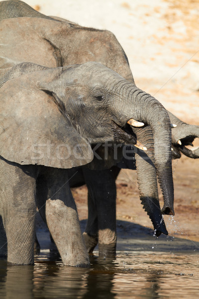 African Elephants Stock photo © Forgiss