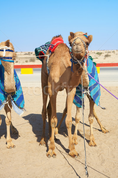 Robot controlled camel racing Stock photo © Forgiss