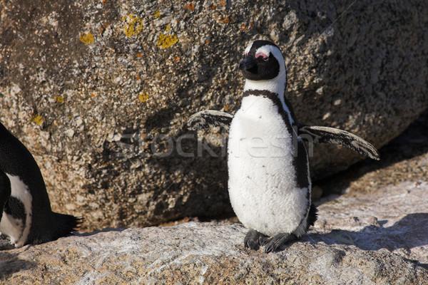 Jackass Penguin #24 Stock photo © Forgiss