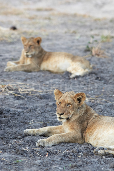 Stock photo: Lions at rest