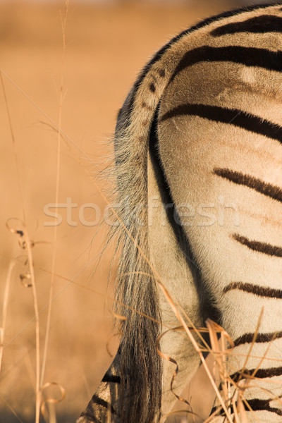 Zebra #1 Stock photo © Forgiss