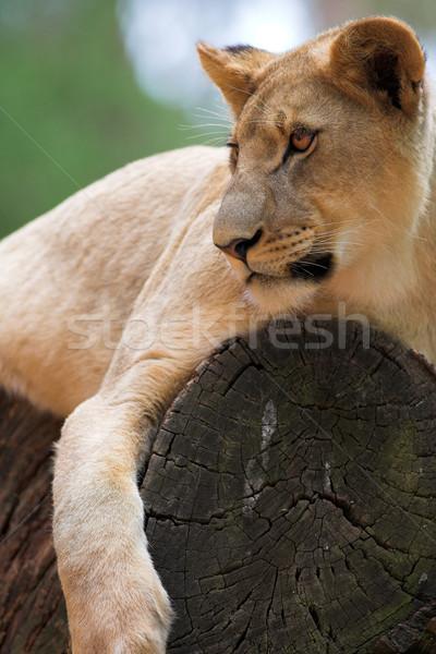 White Lion #6 Stock photo © Forgiss