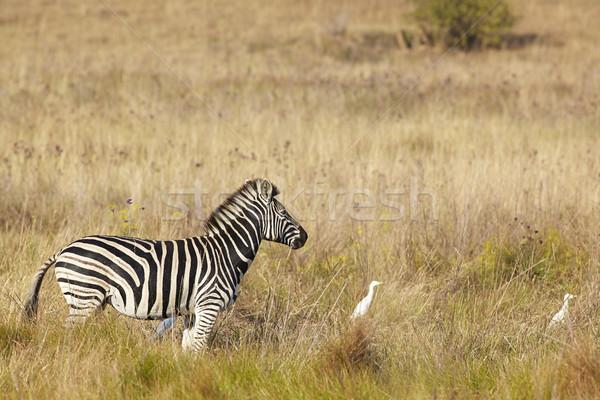 Jovem zebra inverno grama viajar Foto stock © forgiss
