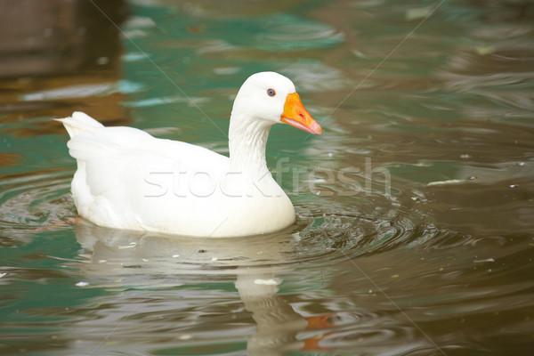 White goose swimming Stock photo © Forgiss