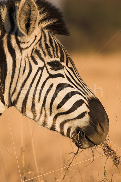 Zebra #2 Stock photo © Forgiss