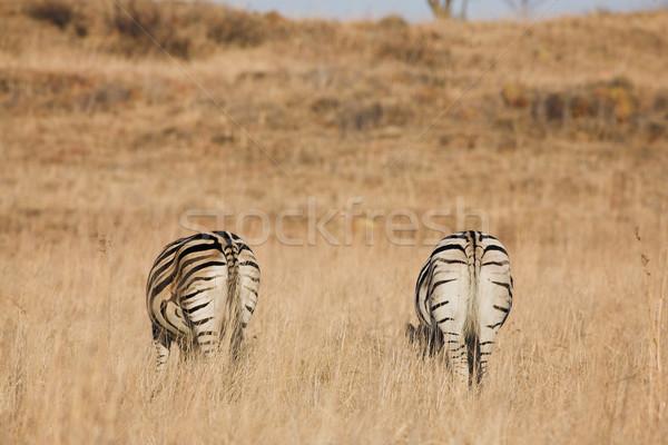 Zebra #8 Stock photo © Forgiss