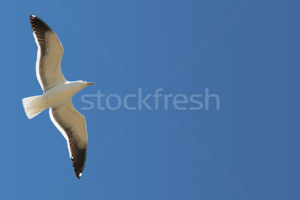 Seagull #15 Stock photo © Forgiss