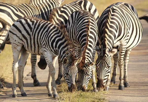 Young Zebra Stock photo © forgiss