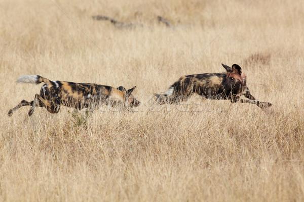 African Wild Dog Stock photo © Forgiss