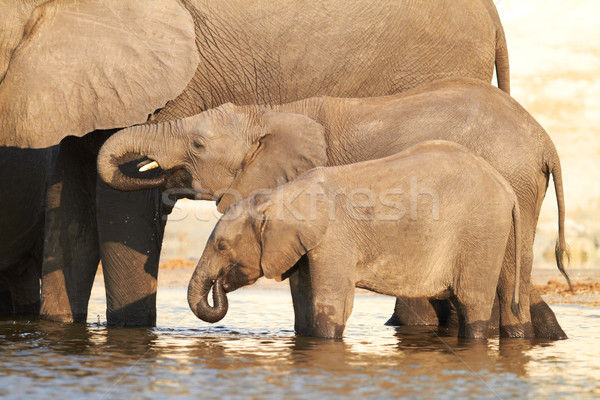 A herd of African elephants Stock photo © Forgiss