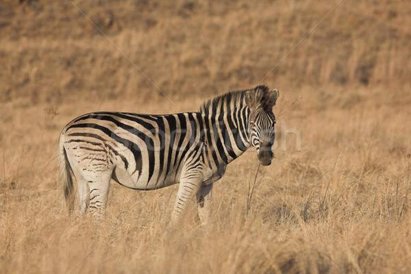 Zebra #9 Stock photo © Forgiss