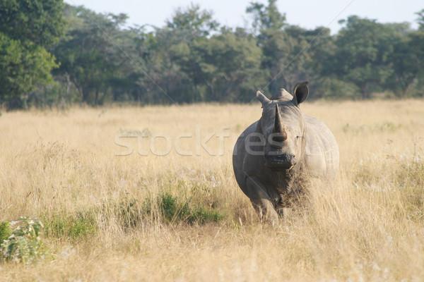 Rhino ready to charge Stock photo © Forgiss