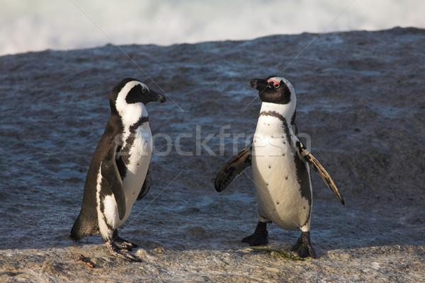 Jackass Penguin #36 Stock photo © Forgiss