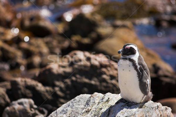 Jackass Penguin #4 Stock photo © Forgiss