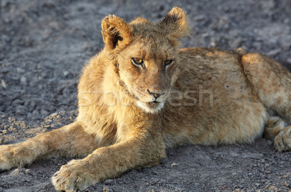Lions at rest Stock photo © Forgiss