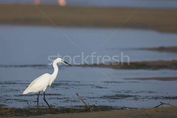 Egret #1 Stock photo © Forgiss