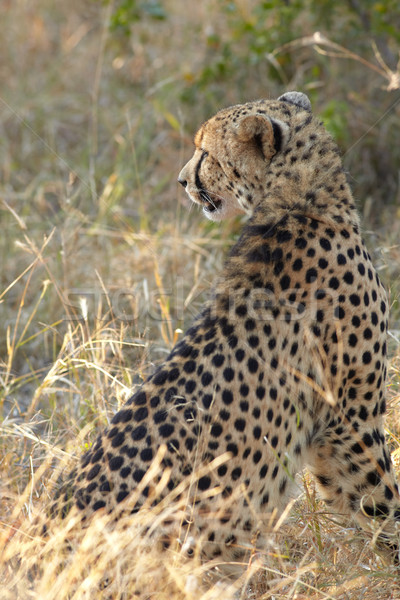 çita avcılık genç Afrika çalı Stok fotoğraf © Forgiss