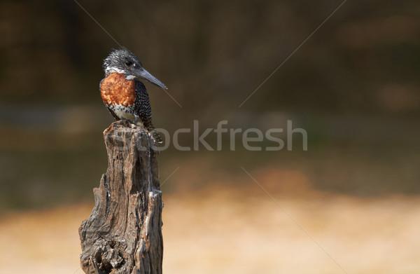 Giant Kingfisher Stock photo © Forgiss