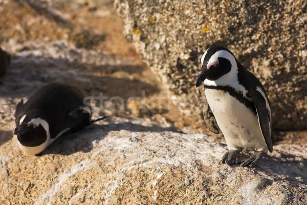 Jackass Penguin Stock photo © Forgiss