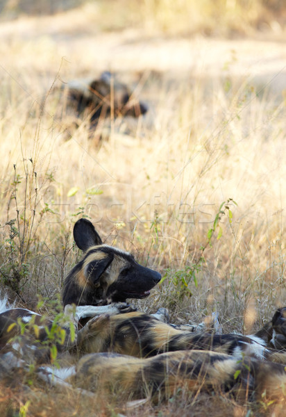 African Wild Dogs Stock photo © forgiss