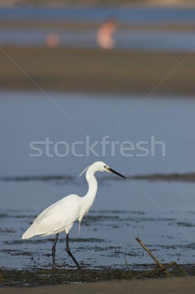 Egret #2 Stock photo © Forgiss